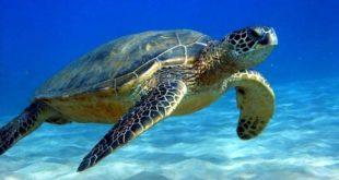 ΑΡΧΕΛΩΝ: Σύλλογος για την Προστασία της Θαλάσσιας Χελώνας.